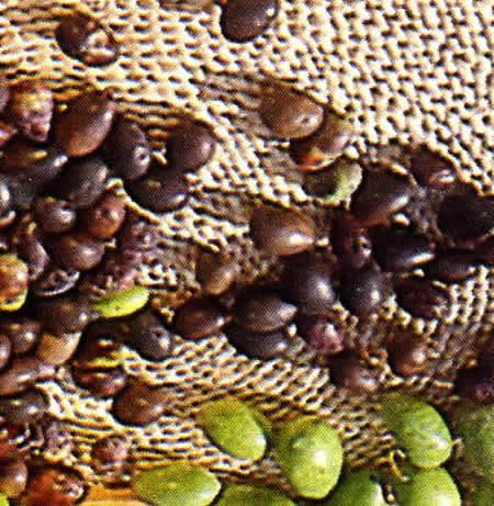22 - Azérole-Olive