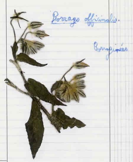23 - Bourrache