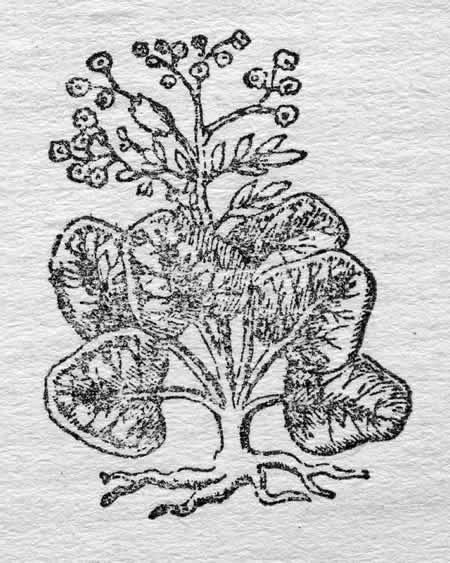 11 - Rhubarbe
