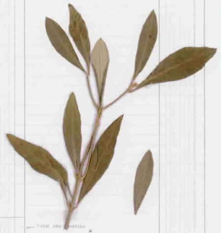 29 - Olive