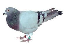 25 - Pigeon