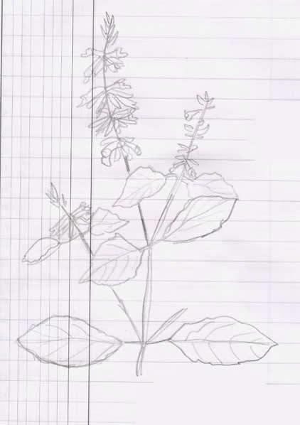 14 - Basilic
