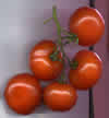 28- Tomate
