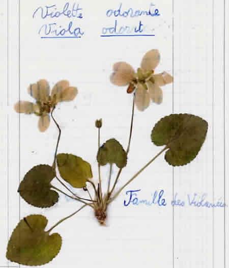 8 - Violette